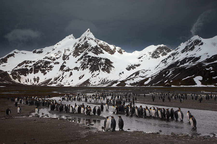 Königspinguine, Right Way Bay, Südgeorgien